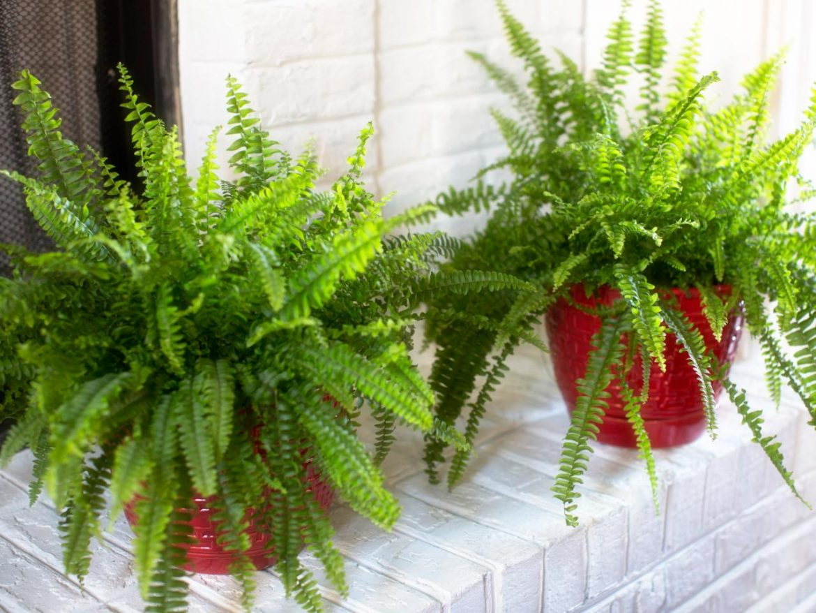 Best indoor ferns