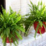 Best indoor ferns